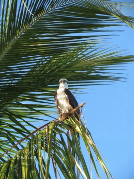 osprey in palms, Boca Grande