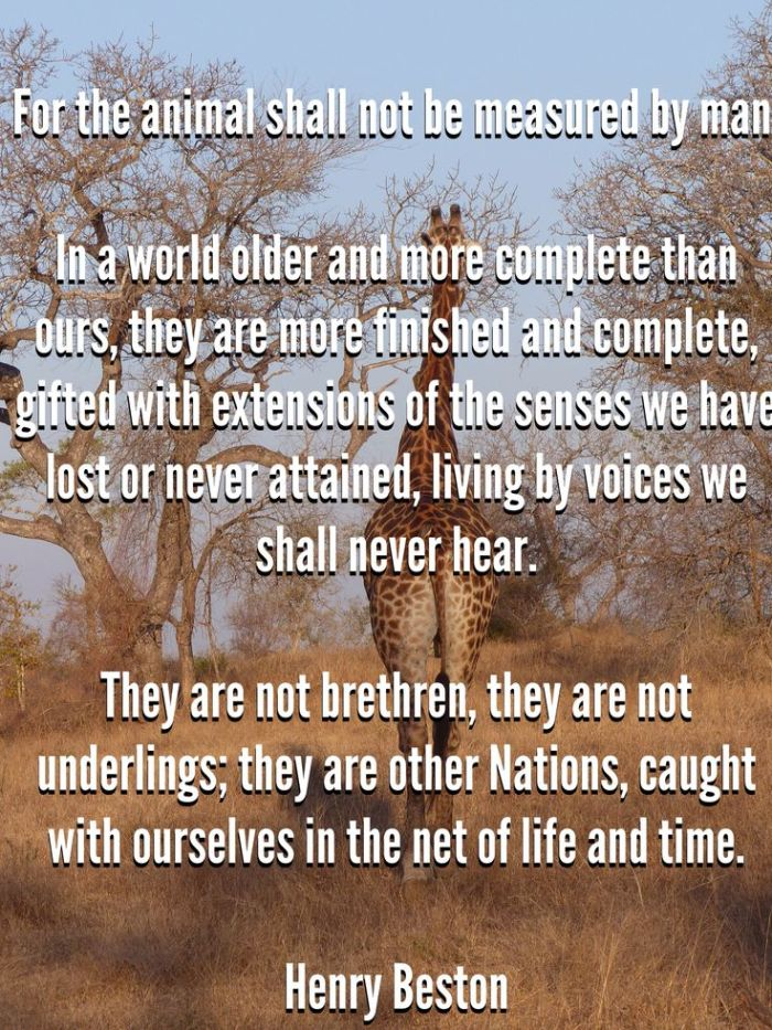 For the animal shall not be measured by man. In a world older and more complete than ours they move finished and complete, gifted with extensions of the senses we have lost or never attained, living by voices we shall never hear. They are not brethren, they are not underlings; they are other nations, caught with ourselves in the net of life and time
