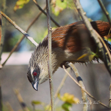 Coppery-Tailed Coucal, Okavango Delta, Botswana