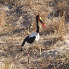 Saddle-Billed Stork, Londolozi, South Africa