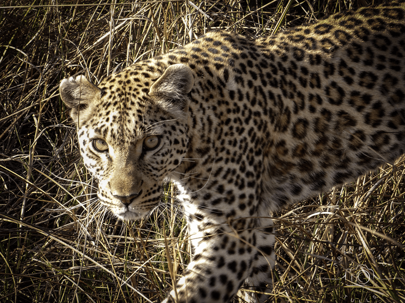 Leopard stalking us on an Okavango Delta safari