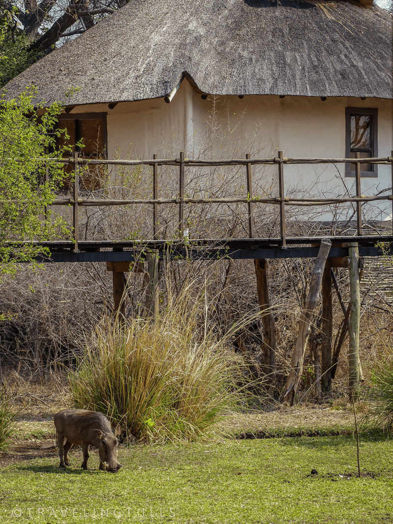 Best safari camps in Africa, Sanctuary Sussi and Chuma in Zambia. With warthogs!