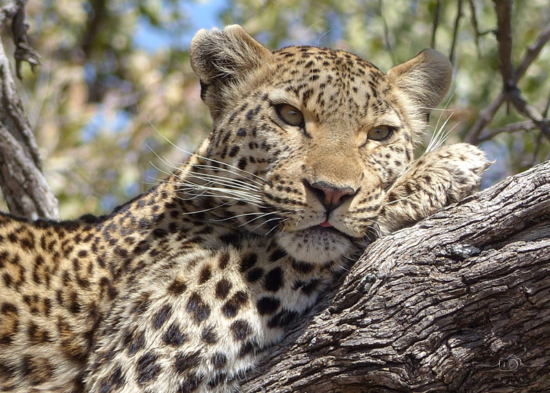 Leopard in the Okavango. How to prepare for an African Safari? Some books to read before your trip to Africa.