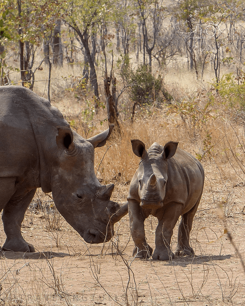endangered rhinos seen on an african safari adventure