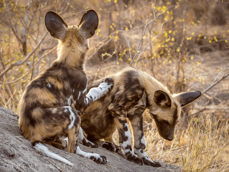 top moments on an african safari - wild dog puppies