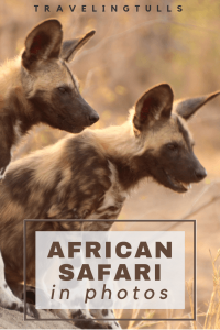 Wild Dog pups seen on safari in Africa.