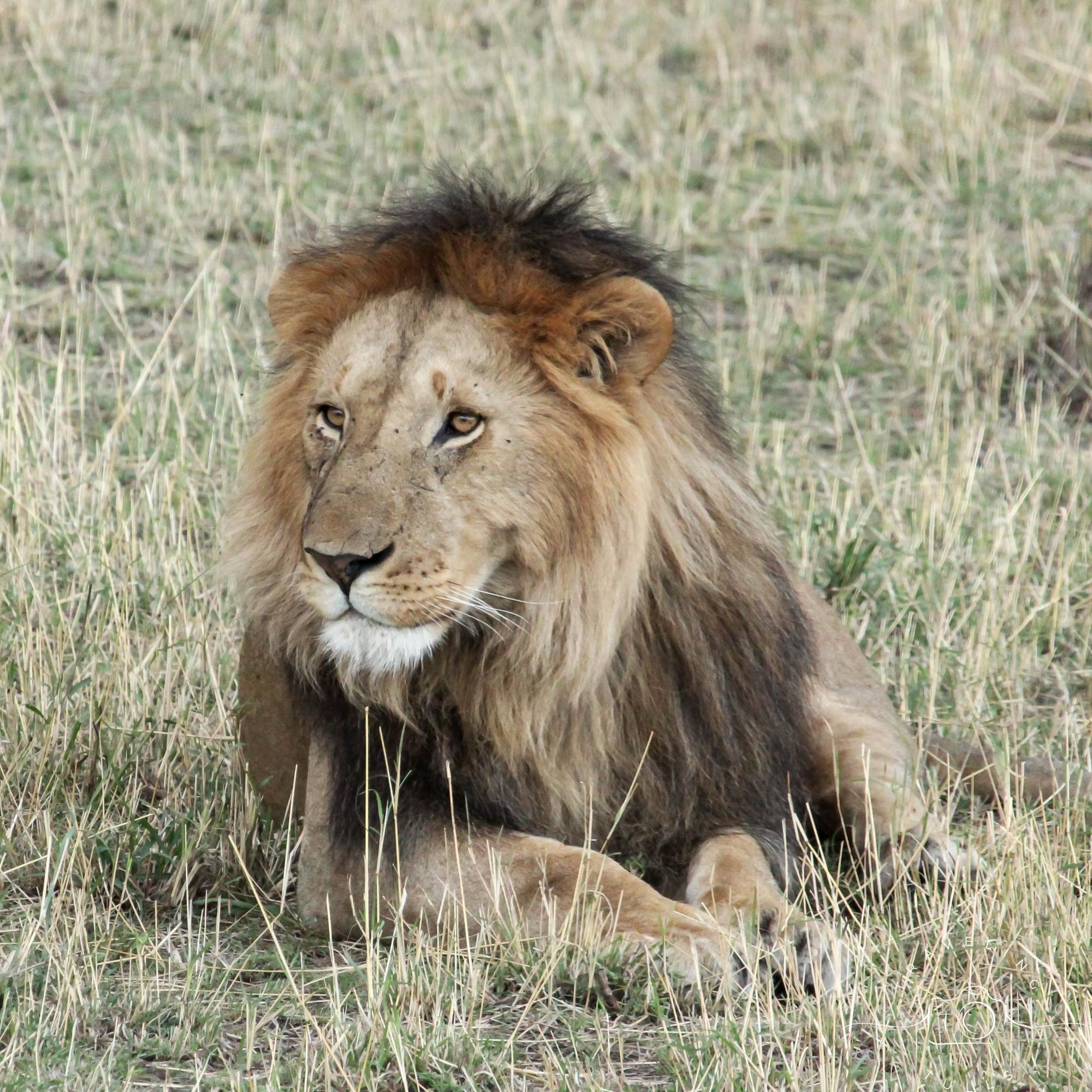 African lion, Serengeti