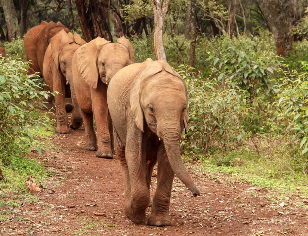 Baby elephants return to the Sheldrick orphanage in Nairobi