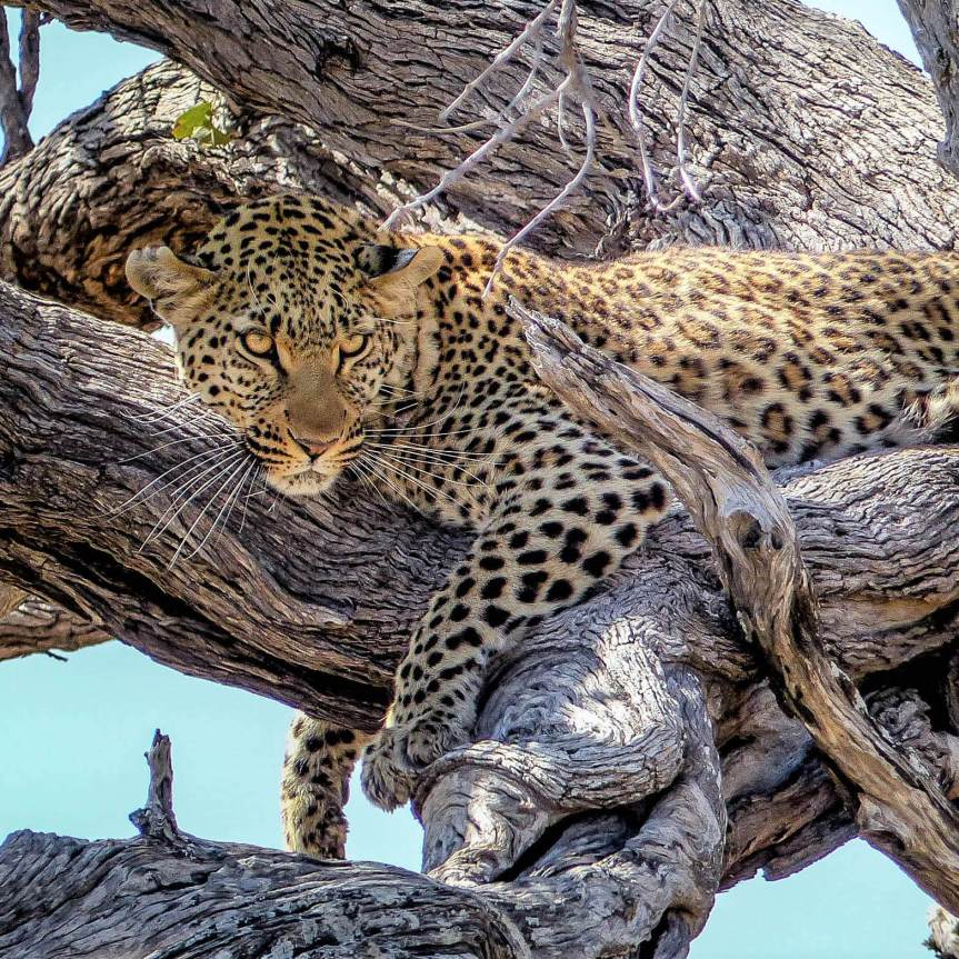 Steps to the perfect luxury safari. Leopard in Botswana