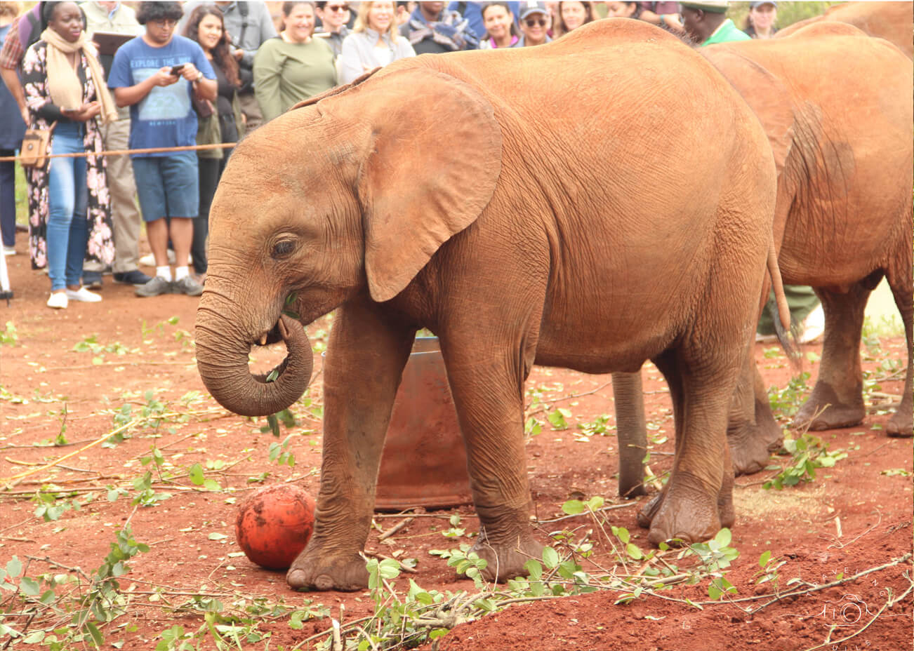 Young elephant at the Sheldrick orphanage during the morning visit