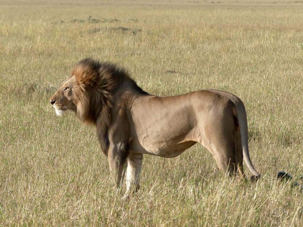 A luxury safari in Africa, Lion, Serengeti