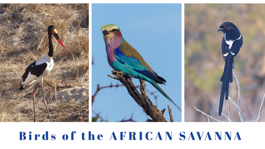 Birds of the African Savanna: how to birdwatch on safari