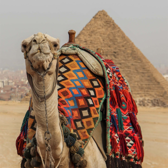 camel in front of pyramids