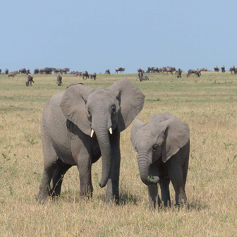 elephants on serengeti