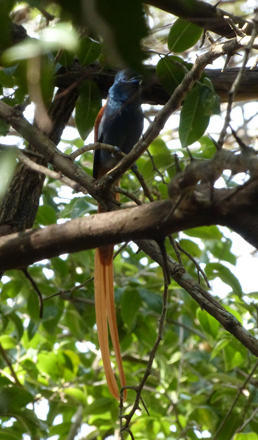 African Paradise flycatcher perched next to our room at Sanctuary Olonana in Kenya.