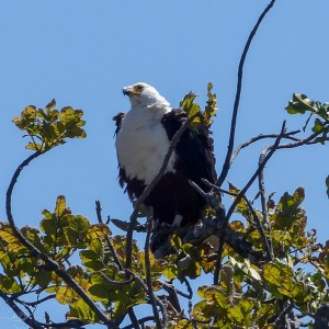 African fish eagle, birds of Africa. Tips for birdwatching on safari