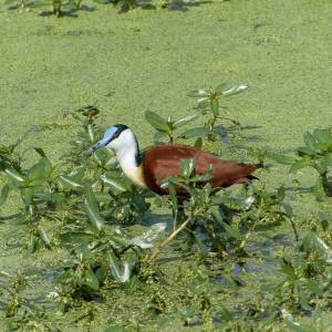 African jacana in South Africa, birds of Africa. Tips for birdwatching on safari