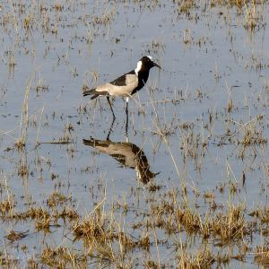 Blacksmith plover, Botswana, birds of Africa. Tips for birdwatching on safari