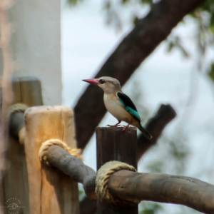 Brownhooded Kingfisher in Zambia, birds of Africa. Tips for birdwatching on safari