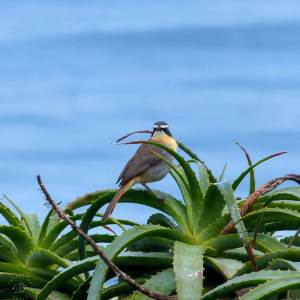 Cape Robin Chat in South Africa, birds of Africa. Tips for birdwatching on safari