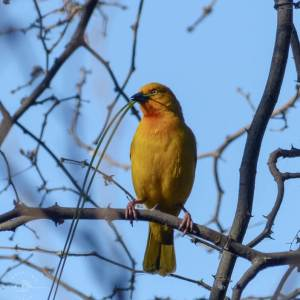 Golden weaver in the Okavango Delta, Botswana. Birds of Africa. Tips for birdwatching on safari