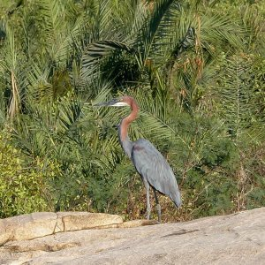 Goliath heron, largest member of the heron family. South Africa, birds of Africa. Tips for birdwatching on safari