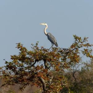 Grey heron, South Africa, birds of Africa. Tips for birdwatching on safari