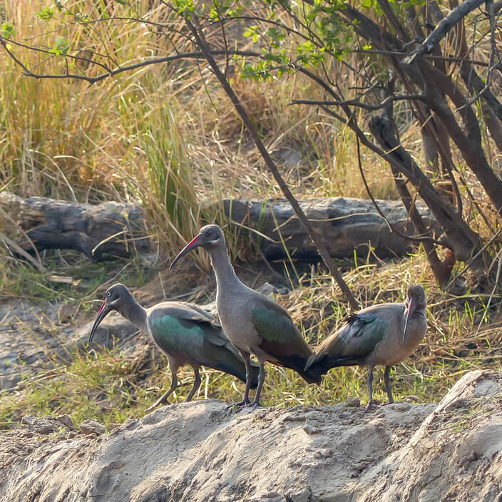 Hadada Ibis in Zambia, birds of Africa. Tips for birdwatching on safari