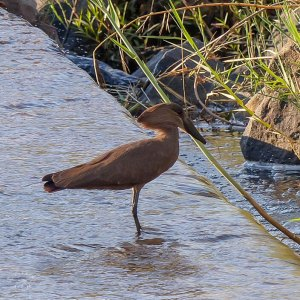 Hammerkop in South Africa, birds of Africa. Tips for birdwatching on safari