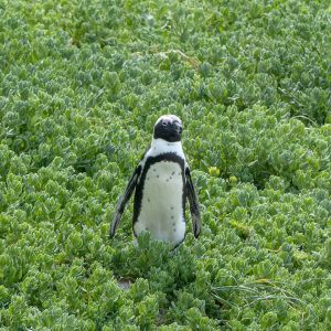 Jackass penguin in Simons Town, South Africa, birds of Africa. Tips for birdwatching on safari