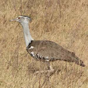Kori bustard is the largest bird that can fly. This bird was seen at the Ngorongoro Crater, Tanzania. , birds of Africa. Tips for birdwatching on safari