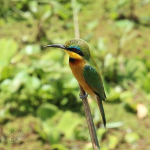 Little Bee-eater in Tanzania, birds of Africa. Tips for birdwatching on safari