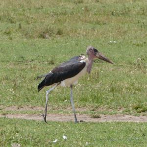 One of the ugly 5, the Maribou stork in Kenya, birds of Africa. Tips for birdwatching on safari