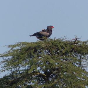 Bateleur eagle in Kenya, birds of Africa. Tips for birdwatching on safari