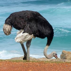 Ostrich near Cape Town, South Africa, birds of Africa. Tips for birdwatching on safari