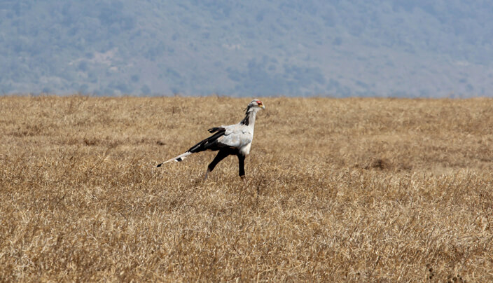 Secretary Bird in the Ngorongoro Conservation area of Tanzania. A remarkable bird seen on a wildlife safari.
