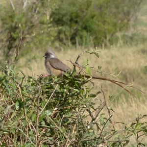 Speckled Mousebird in Tanzania, birds of Africa. Tips for birdwatching on safari
