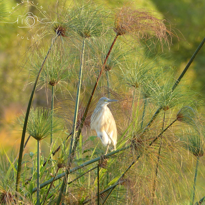 Squacco Heron in Zambia, birds of Africa. Tips for birdwatching on safari