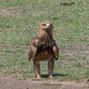 Tawny Eagle in Tanzania, birds of Africa. Tips for birdwatching on safari