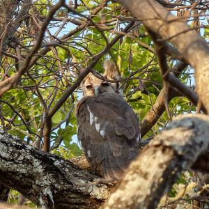 Verreaux's Eagle-owl in Botswana, birds of Africa. Tips for birdwatching on safari