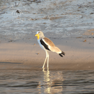 white headed lapwing in Zambia, birds of Africa. Tips for birdwatching on safari