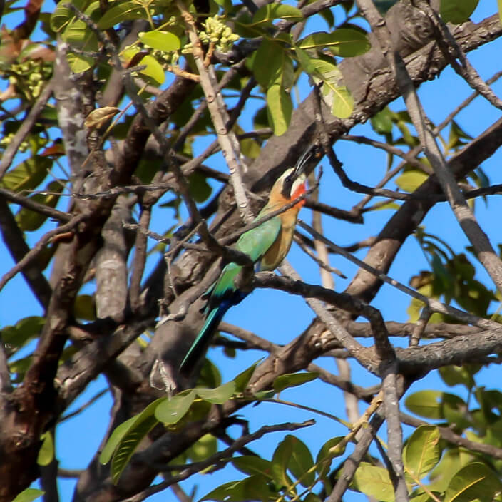 White-fronted Bee-eater, birds of Africa. Tips for birdwatching on safari