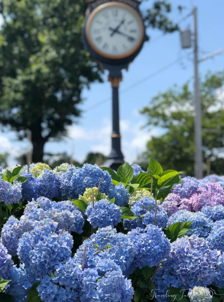 Hydrangeas in Depot Square, Plymouth, MA