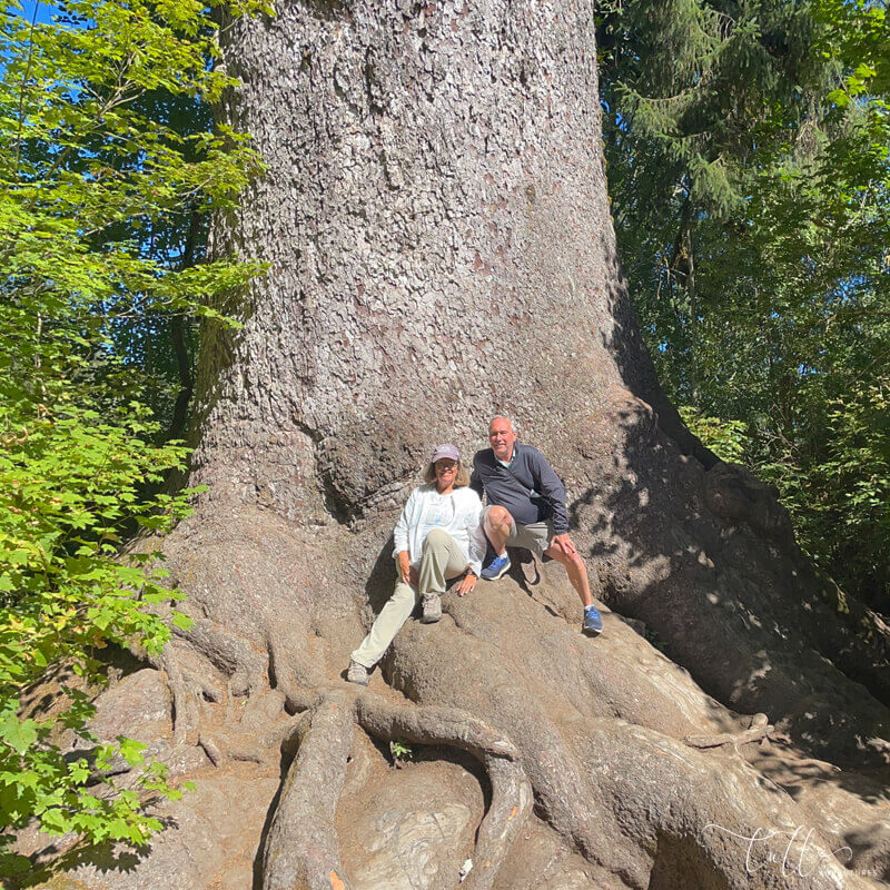 1000+ year old Sitka Spruce in Olympic National Park