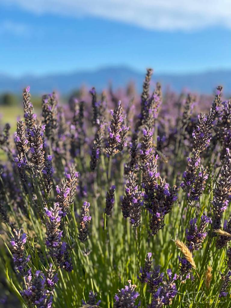 lavender fields in Sequim, Washington - seen on our road trip around the Olympic peninsula