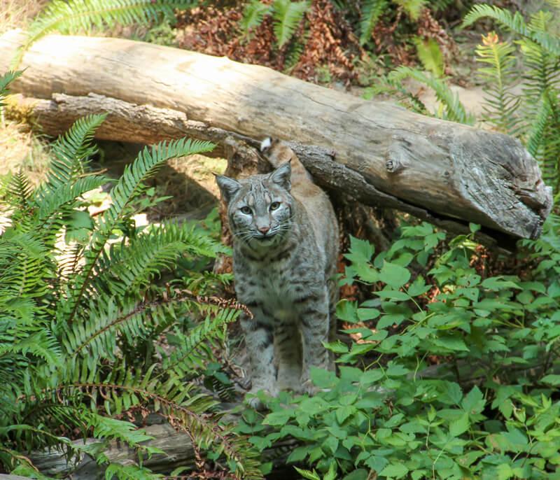 Bobcat in Northwest Trek Wildlife