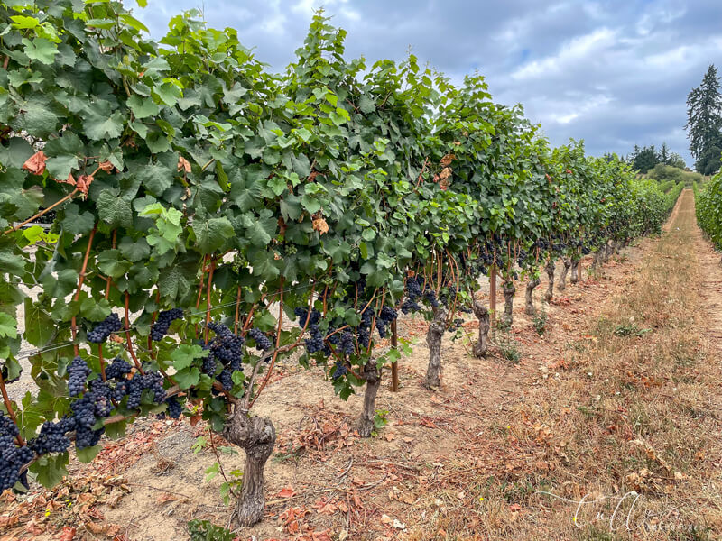 Willamette Valley wineries - rows of pinot noir grapes - seen on our Pacific Northwest road trip