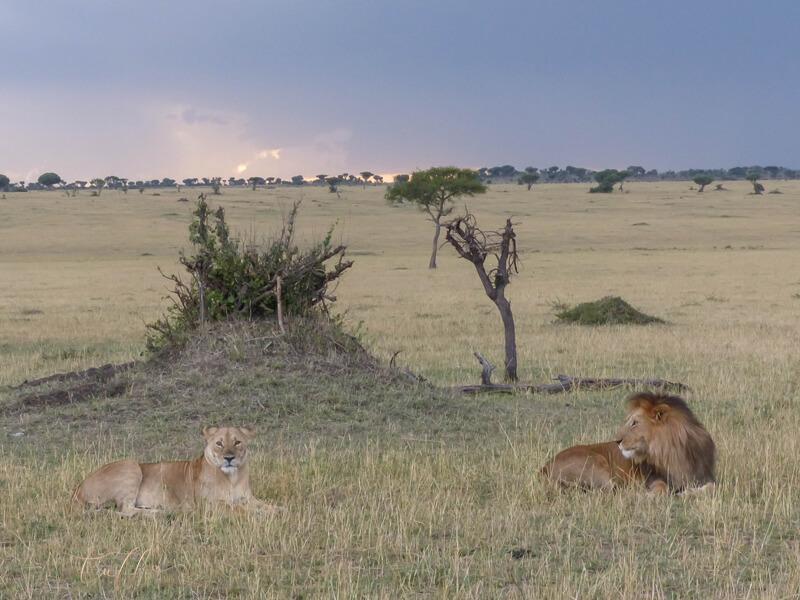 Male and female lions resting at twilight Tanzania safari