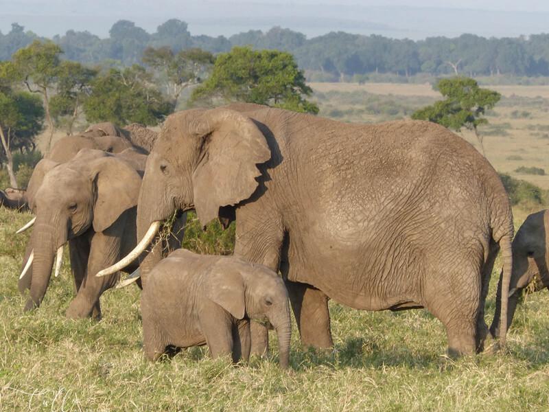 elephant family in the Masai Mara national reserve Kenya