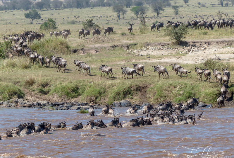 Wildebeest Mara crossing during the Great Migration